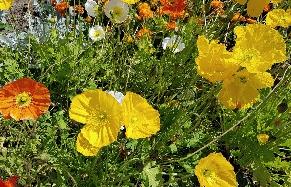 Kwiaty makowe