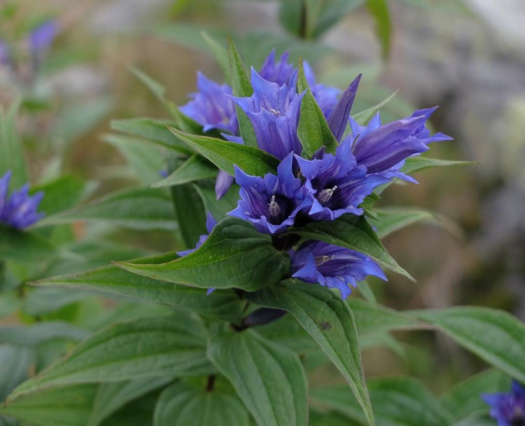 Tatry - kwiaty