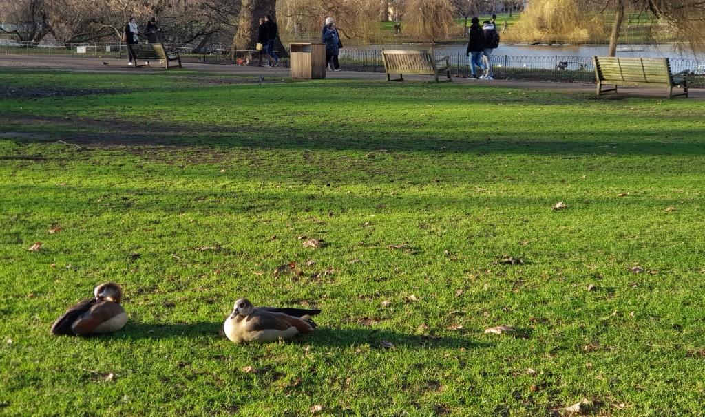 Londyn, Kaczki
